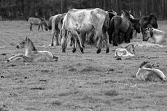 Wild Horses in black-and-white - Foal - 2016-013_Web (berni.radke) Tags: horse pony herd nordrheinwestfalen colt wildhorses foal fohlen croy herde dlmen feralhorses wildpferdebahn merfelderbruch merfeld przewalskipferd wildpferde dlmenerwildpferd equusferus dlmenerpferd dlmenpony herzogvoncroy wildhorsetrack