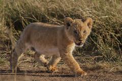 baby steps (v_ac_md) Tags: cub kenya masaimara africanlion