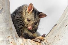Possum 2016-04-20 (60D_0980) (ajhaysom) Tags: possum australia melbourne greenvale brushtailedpossum canoneos60d sigma150600 woodlandshistoricpark