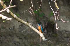 _IGP8961 (N1K081) Tags: kingfisher eisvogel smck13560067
