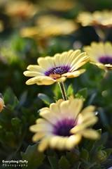 DSC_0047 (Fluffphoto) Tags: flowers sunset sunlight golden lowes
