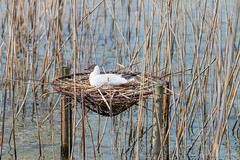 Black-headed gull brooding (foto99) Tags: water female reeds switzerland pier spring wire nest loop brooding rapperswil blackheadedgull