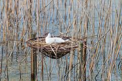 Black-headed gull brooding (foto99) Tags: water female reeds switzerland pier spring wire nest loop brooding rapperswil blackheadedgull