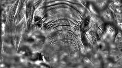 Peering Through The Trees (jrussell.1916) Tags: trees monochrome blackwhite elephants kansascityzoo tonemapped zoosofnorthamerica photomatixessentials canonef70200f4lis14tc