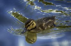Mallard Duckling (Anas Platyrhynchos) (IAN GARDNER PHOTOGRAPHY) Tags: baby water canal duck duckling young mallard hdr anasplatyrhynchos autofocus wildduck