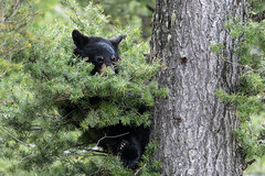Black Bear Cub (rwarrin) Tags: cub nationalpark unitedstates outdoor wildlife bears yellowstonenationalpark yellowstone wyoming blackbear ynp bearcub