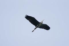 Grey heron (markus_langlotz) Tags: