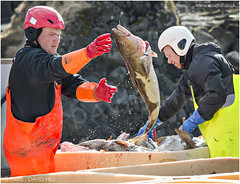 Sorting The Catch (channel packet) Tags: boat iceland workers fishermen cod haddock davidhill
