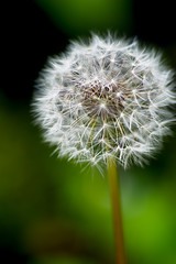 make a wish #1 (avflinsch) Tags: flower macro weed dandelion 500px ifttt