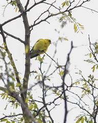 Goldfinch_52389 (gpferd) Tags: plant tree bird animal us unitedstates goldfinch maryland baltimore finch