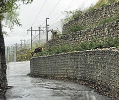 Double Decker Deer (Eyellgeteven) Tags: animal animals wall fur weeds furry critter wildlife deer layer layers critters muledeer tiers tier retainingwall eyellgeteven