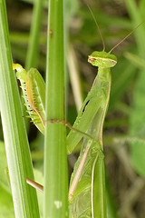 le musa 051 (Walwyn) Tags: france green mantis insect religiosa mantidae