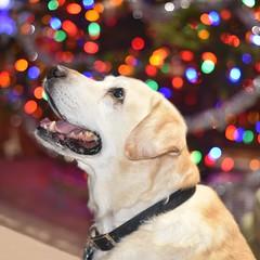Boomer (Ray Horwath) Tags: dog 50mm nikon lab labrador yellowlab retriever d750 labradorretriever nikkor boomer horwath rayhorwath