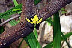 My Iris (diamonds_in_the_soles_of_her_shoes) Tags: iris flower yellow lirio teampilipinas