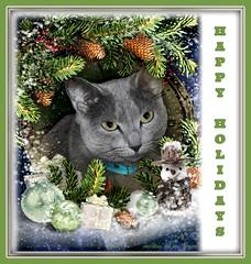 "Megumi wishes everyone ""Happy Holdays!"" (martian cat) Tags: russianblue newyears kitty kittycat cat pet ©martiancatinjapan allrightsreserved© happynewyear glücklichesneuesjahr omedettogozaimasu ハッピーニューイヤー 明けましておめでとうございます bonneannée felizañonuevo buonanno macro megumi ©allrightsreserved martiancatinjapan© cards merrychristmas motivational joyeuxnoël fröhlichiwiehnacht kurisumasuomedeto feliznavidad メリークリスマス buonnatale motivationalposter inspirational ☺allrightsreserved allrightsreserved caption captioncollection christmas christmasmemories ☺martiancatinjapan creativity martiancat martiancat© ©martiancat martiancatinjapan"