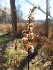 Kensington 2 December 1 2015 (lillith_complex) Tags: flowers nature seedpods dryflowers