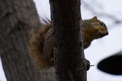 DSC00222.jpg (Christopher B Everett) Tags: squirel dallasarboretum