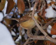 Bashful........... (l_dewitt) Tags: wren carolinawren backyardwildlife backyardbirds backyardbirdwatching northamericanwildlife carolinawrenphotos nationalwildlifemagazinephotogrouppool earthnaturelife wrenphotos