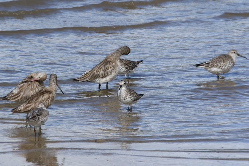 Calidris tenuirostris and Limosa lapponica