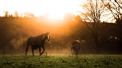 New Year Sunset (MOH-PHO) Tags: trees winter sunset shadow horses horse sun mist colour field silhouette canon soft country breath sharp flare tamron lightroom 2470 7dmkii