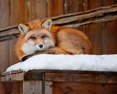 Foxy (Mary Susan Smith) Tags: winter snow animal fur mammal fox rescued bigmomma gamewinner challengeyouwinner cychallengewinner littleraysreptiles thechallengefactory tcfwinner gamex2 storybookwinner gamex3 pregamesweepwinner bbqatgrandmas pregameduelwinner