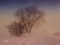 winter-wonderland (Schneeglöckchen-Photographie) Tags: schnee winter snow tree fog nebel wonderland baum