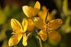 *** (pszcz9) Tags: flower nature closeup spring bokeh sony poland polska a77 wiosna przyroda kwiat beautifulearth zblienie