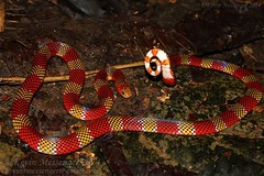 Micrurus langsdorffi (Langsdorff's coral snake) (Kevin Messenger) Tags: peru coral canon amazon kevin reptile snake wildlife 7d messenger venomous herpetology coralsnake micrurus kevinmessenger langsdorffs langsdorffi