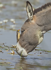 Yellow-billed Oxpecker (katholdbird) Tags: red