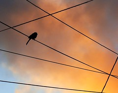 Wired (ManassasWarrentonCameraClub) Tags: sunset bird silhouette balance strength drama telephonewires height manandnature