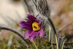 Blume 22 (rgr_944) Tags: flowers plants fleurs outdoor natur pflanzen blumen plantes canoneos60dcanoneos70d rgr944