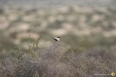 3-Oman-Desert-Marathon-Day-6_7155
