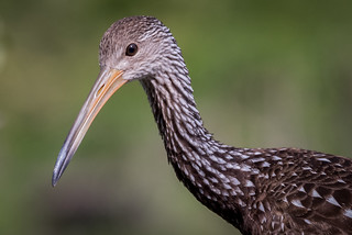 Limpkin, Polk County, FL [Explore 17 February 2016]