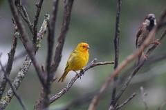 variations (Rodrigo Alceu Dispor) Tags: bird rain branch sparrow canary variation