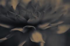 De entre las cenizas... (caterinag.delrossi) Tags: flowers blackandwhite flores flower macro blancoynegro nikon dof flor explore desenfoque tamron profundidaddecampo tamron60mmmacro nikond5300 mocrocromo