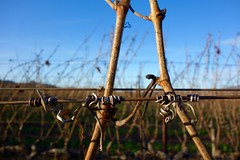 vines at rest (KevinIrvineChi) Tags: california blue red brown sun macro green northerncalifornia fence outside outdoors vineyard wire vines focus bokeh outdoor sony wrapped dry sunny bluesky depthoffield h curly napa curled around tied winecountry curling dormant grapevines dscrx100