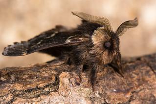December moth (Poecilocampa populi)