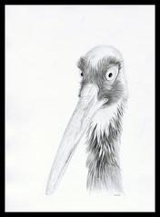 Bird - I dont know the species (Karwik) Tags: bird pencil pencils zoo drawing ptak owek rysunek olowek batw baltow