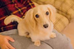 IMG_3351 (yukichinoko) Tags: dog dachshund 犬 kinako ダックスフント ダックスフンド きなこ