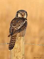 Golden Hour Owl  3678 (Bonnieg2010) Tags: wild nature alberta owl avian goldenhour birdofprey hawkowl northernhawkowl northwestofcalgary bonniegrzesiak