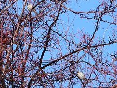 Feb4,2016 045 Purple Finch (terrygray) Tags: finch