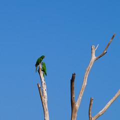 Green Parakeets atop Dead Branches (Derrick.Midwinter) Tags: green bird nature animal wildlife parrot parakeet wildanimal nicaragua sancristbal