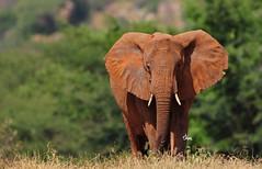 Red Elephant of Tsavo - 6086b+ (Teagden (Jen Hall)) Tags: africa red wild elephant west nature nikon kenya african wildlife safari dirt tsavo africanelephant naturephotography kenyasafari africansafari reddirt redelephant africanwildlife africasafari wildlifephotography tsavowest kenyaafrica tsavokenya kenyawildlife jenniferhall cowelephant jenhall africanphotography tsavoelephant jenhallphotography jenhallwildlifephotography dkgrandsafaris