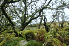 (elisecavicchi) Tags: park wood uk england moss stones south united reserve kingdom devon grasses magical dartmoor twisted gnarled wistmans