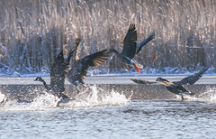 Greater White-fronted Goose (novembergale) Tags: greaterwhitefrontedgoose gwfg