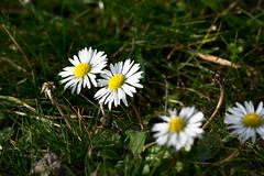 20160222_0046 (mystic_violet) Tags: vienna wien park flowers favoriten austria sterreich spring blumen daisy frhling gnseblmchen wienerberg bellisperennis erholungsgebiet schneswetter frhlingsbeginn beginningofspring nikond3300 darktable