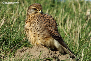 Common Kestrel, Falco tinnunculus