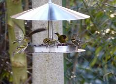 just a snapshot ! HFF     (explored) (BrigitteE1) Tags: bird birds fence garden onexplore hff siskins explored inexplore