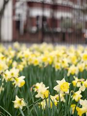 Daffodils (James E. Petts) Tags: flowers london yellow centralpark daffodil daffodils eastham