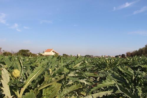 #agritoursvalencia Alcachofa de Benicarló (23-01-2016)
